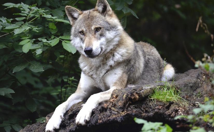 Wo die wilden Wölfe heulen:  Naturschutzgebiet DingdenerHeide